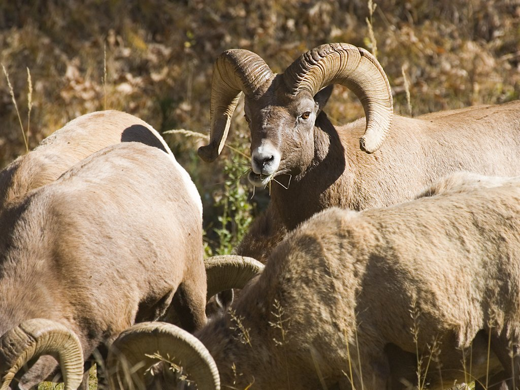 Rocky Mountain Bighorns, Custer State Park, SD, October 2008.  Click for next photo.