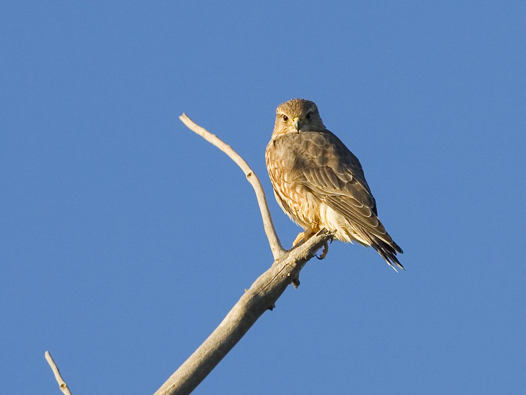 Some sort of small raptor, perhaps a falcon, Bosque del Apache NWR, NM, October 2008.  Click for next photo.