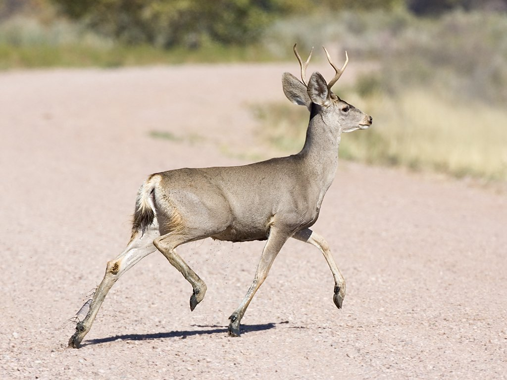 One of a group of four mule deer bucks, Bosque del Apache NWR, NM, October 2008.  Click for next photo.