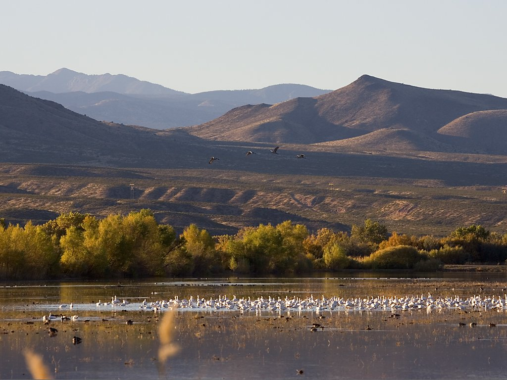 Snow geese, Bosque del Apache NWR, NM, October 2008.  Click for next photo.