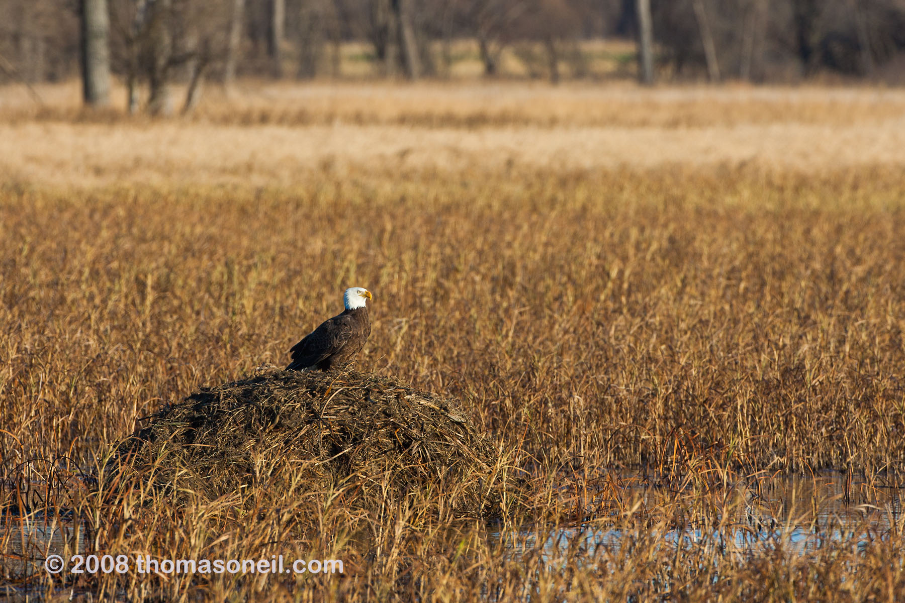 Bald eagle on a muskrat hut, Squaw Creek NWR, MO, November 2008.  Click for next photo.