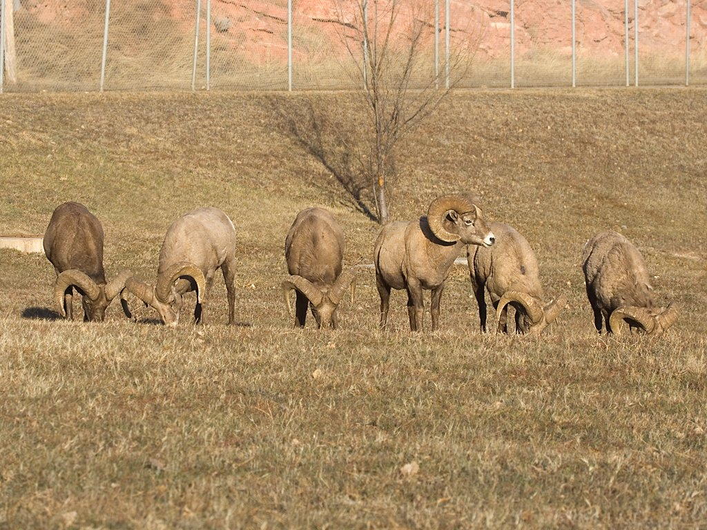 Six Rocky Mountain Bighorn rams, Cleghorn State Fish Hatchery, SD, December 2008.  Click for next photo.