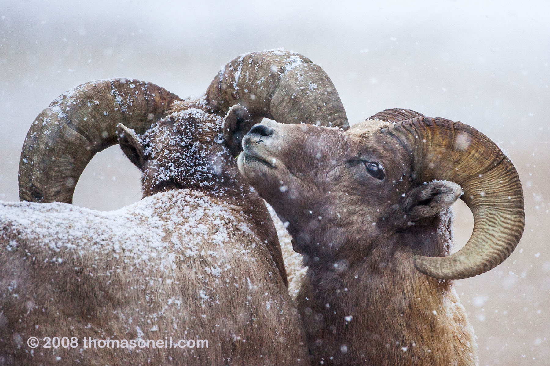 Rocky Mountain Bighorns in the snow, Custer State Park, SD, December 2008.  Click for next photo.