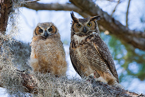 Great Horned Owls, 2008.