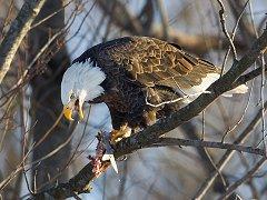 Eagle eating fish.
