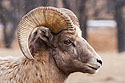Rocky Mountain Bighorn, Custer State Park, SD, December 2008.