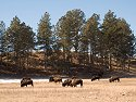 Bison, Custer State Park, South Dakota, February 2008.