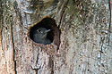 Red-headed woodpecker chick peering out of nest hole, Newton Hills State Park, 2008.  Even a long camera lens wasn�t enough, shot through a telescope.