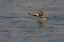 Bald eagle yanks a fish out of the Mississippi River, January 2008.