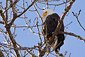 Bald eagle, Mississippi River, January 2008.