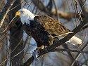 Bald eagle, Mississippi River, January 2008.