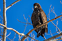 Juvenile bald eagle, Ft. Randall dam, South Dakota, February 2008.