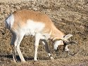 Pronghorn scratches on a dry week, Custer State Park, South Dakota, February 2008.