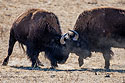 Bison jousting, Custer State Park, South Dakota, February 2008.
