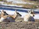 Pronghorn at rest, Custer State Park, South Dakota, February 2008.