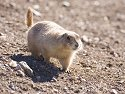 Prairie Dog, Wind Cave National Park, South Dakota, February 2008.