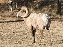 Rocky Mountain Bighorn ram, Custer State Park, South Dakota, February 2008.