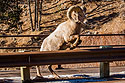 Rocky Mountain Bighorn ram jumping a highway guardrail, Custer State Park, February 2008.  This was the first time I saw bighorns up close in CSP (or anywhere).