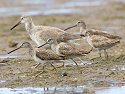 "Shorebirds at ""Ding"" Darling NWR, Sanibel Island, Florida, March 2008."