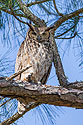 Great Horned Owl, Honeymoon Island State Park, Florida, March 2008.