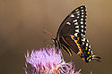 Butterfly, Lower Suwannee NWR, Florida, March 2008.