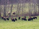 Bison, Land Between the Lakes NRA, Kentucky, March 2008.