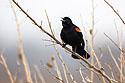 Blackbird, Squaw Creek NWR, Missouri, March 2008.