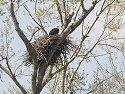 Eagle´s nest, Squaw Creek NWR, Missouri, April 2008.