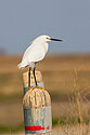 Snowy Egret, Quivira NWR, Kansas, April 2008.