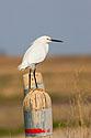 Snowy Egret, Quivira NWR, Kansas, April 2008.