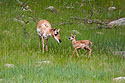 Pronghorn mother and fawn, Custer State Park, South Dakota, June 2008.