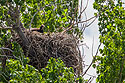 Golden eagle in nest near Quinn, South Dakota, June 2008.