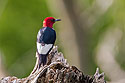 Red-headed woodpecker, Newton Hills State Park, SD, 2008.