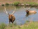 Elk, Simmons Wildlife Safari, Nebraska, August 2008.