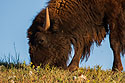 Bison, Custer State Park, SD, September 2008.