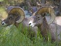 Rocky Mountain Bighorns, Custer State Park, SD, September 2008.