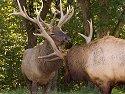 Elk sparring, Simmons Wildlife Safari, Nebraska, September 2008.
