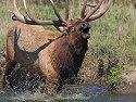 Elk bugling, Simmons Wildlife Safari, Nebraska, September 2008.