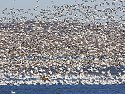 Snow geese, Squaw Creek NWR, MO, November 2008.