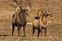 Rocky Mountain Bighorns rams showing mating behavior, Cleghorn State Fish Hatchery, SD, December 2008.