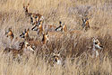 Pronghorns among the grass, Custer State Park, SD, December 2008.