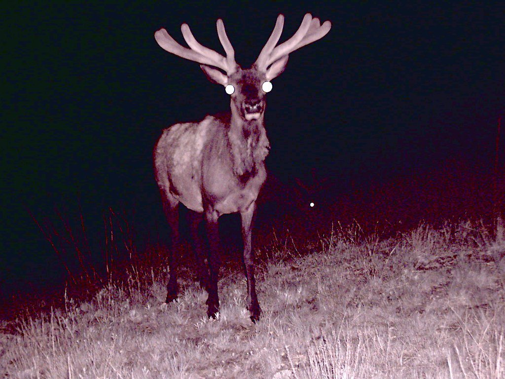 Elk taken with trail cam, Wind Cave National Park, South Dakota, May 29, 2009.