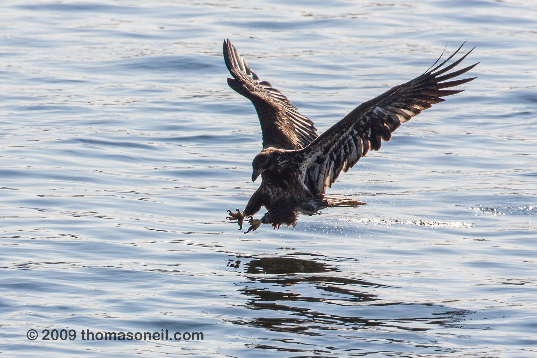 Juvenile bald eagle snatching fish from the Mississippi River, Keokuk, Iowa, January 2009.  Click for next photo.