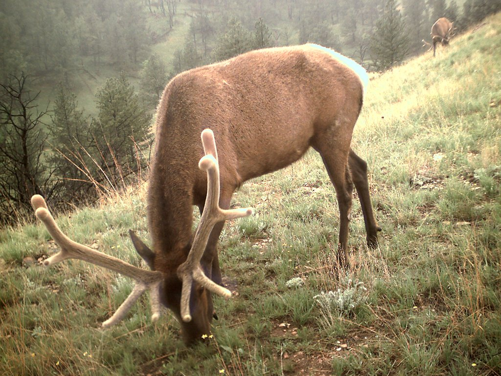 Elk taken with trail cam, Wind Cave National Park, South Dakota, June 6, 2009.