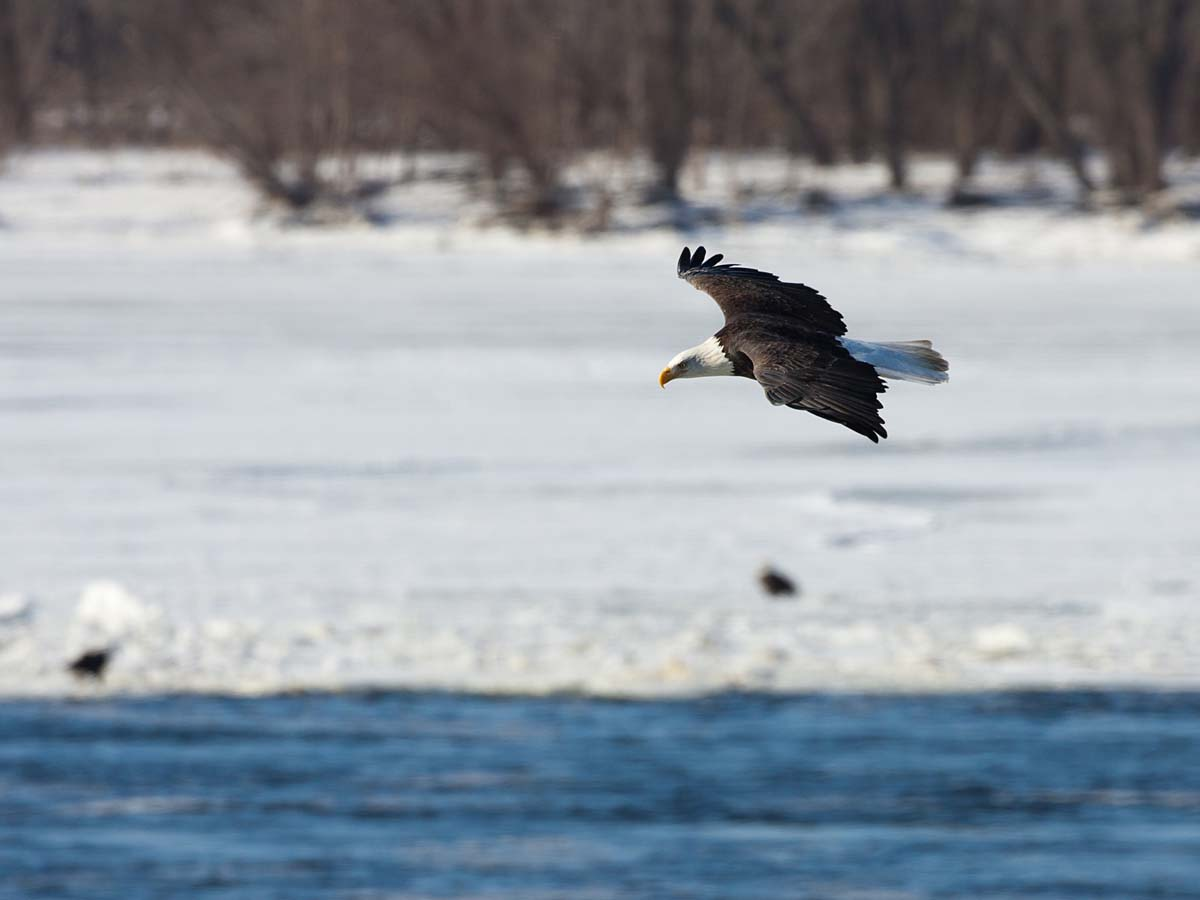 Bald eagle gliding over the Mississippi River, Keokuk, Iowa, January 2009.  Click for next photo.