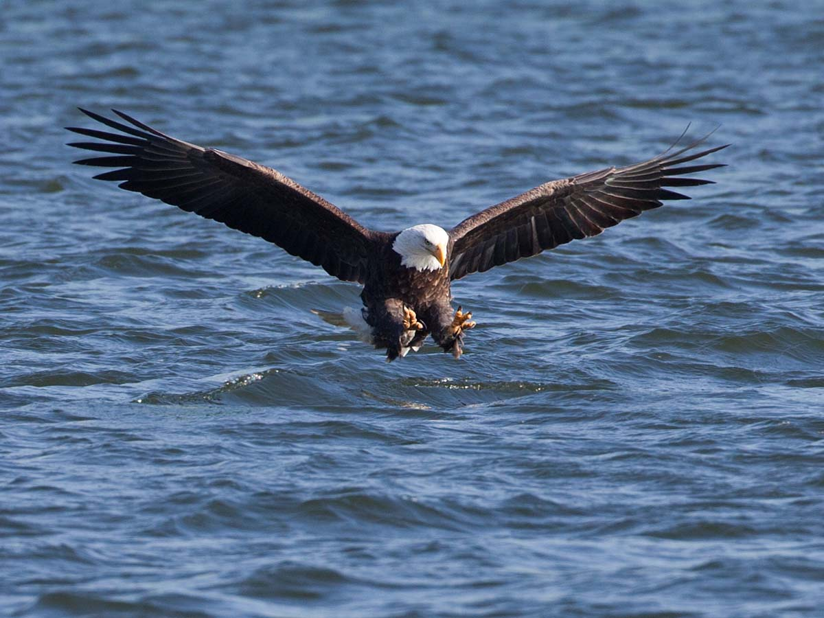 Bald eagle sets up for the catch, Keokuk, Iowa, January 2009.  See next photo for the result.  Click for next photo.