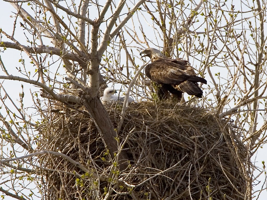 Golden eagles in nest near Quinn, South Dakota, May 2009.  Click for next photo.