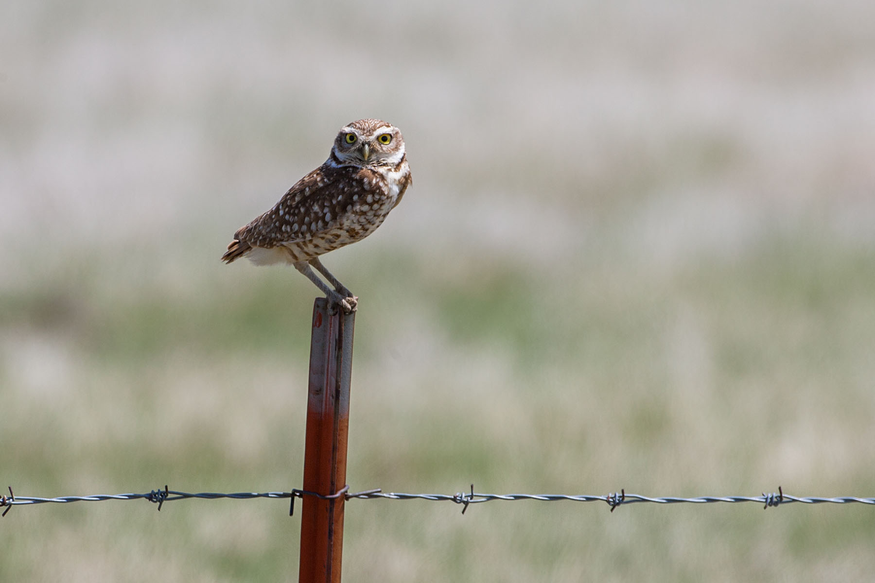 Burrowing Owl, Lower Brule, May 2009.  Click for next photo.