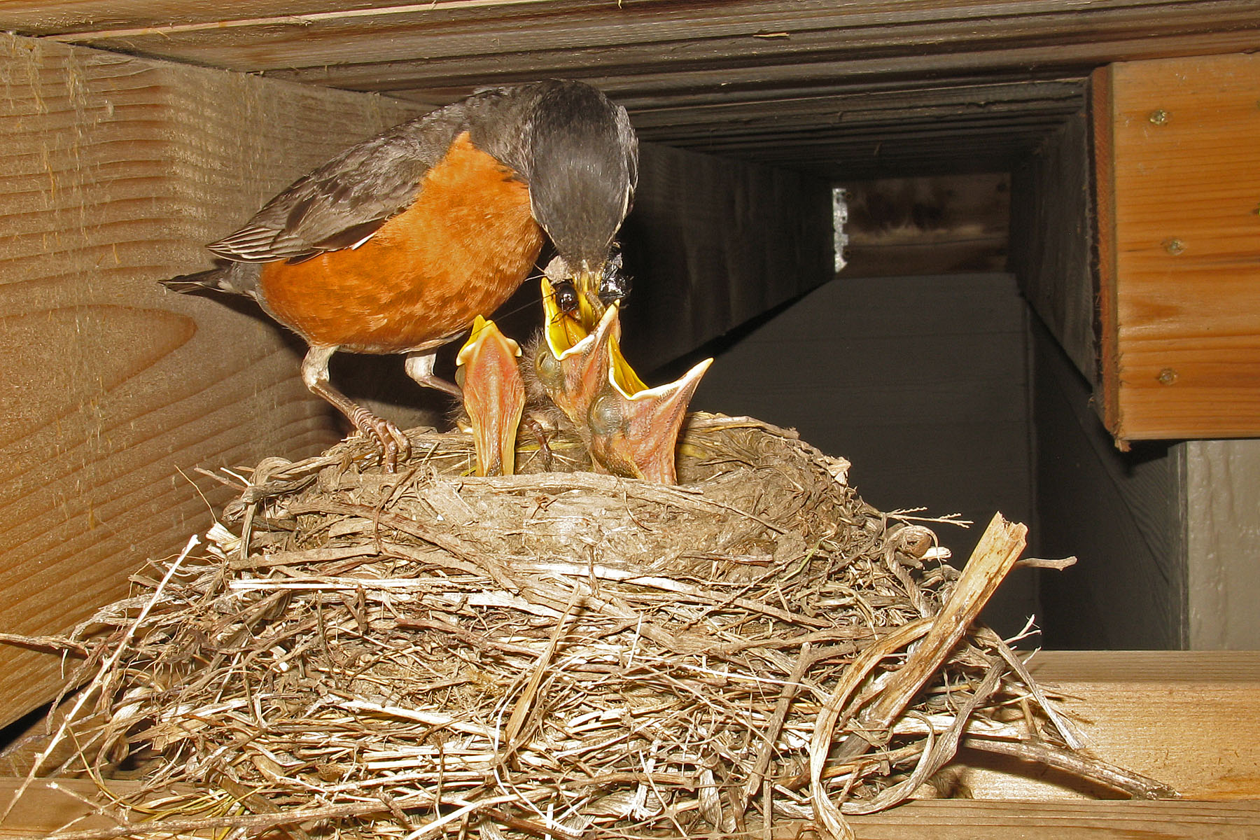 Robin nest under the deck, July 1, 2009.
