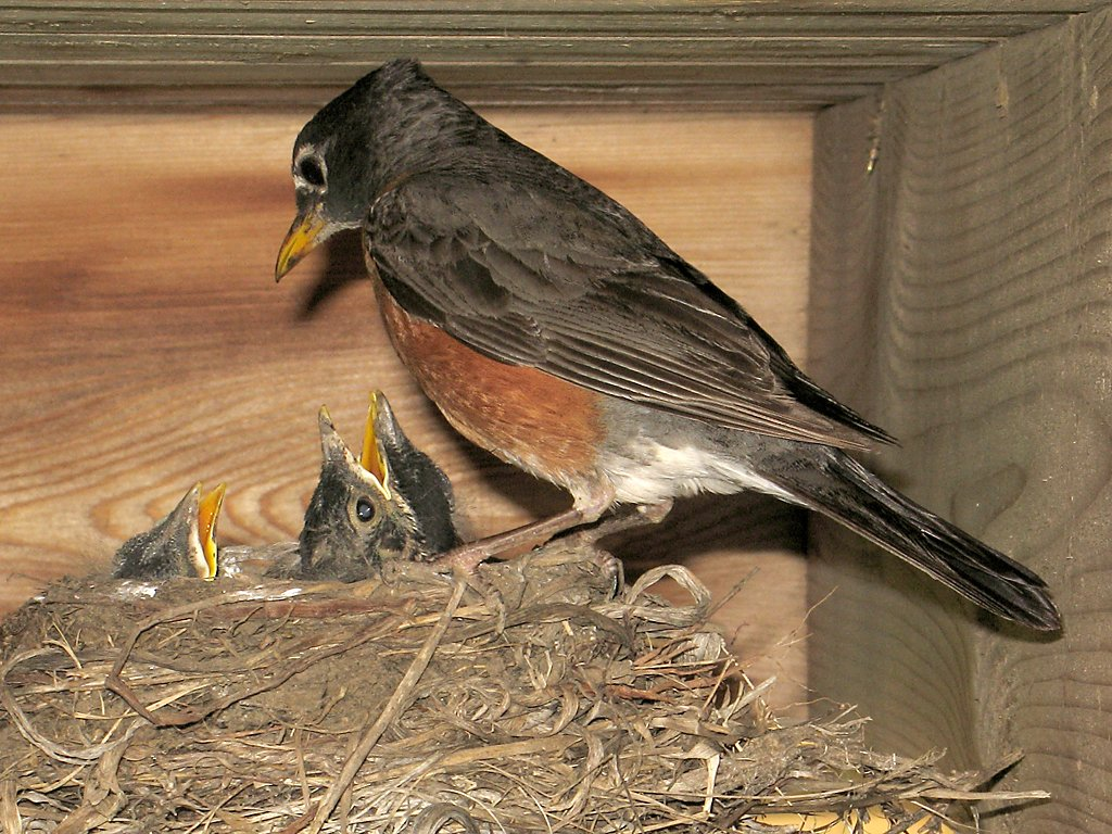 Robin nest under the deck, July 5, 2009.